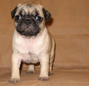 9313005254 registered Pug  puppies.