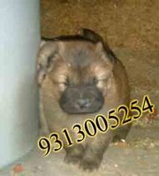 9810871734  Buy chow-chow pup in this Christmas