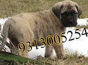BULL MASTIFF ,  NEW FOUNDLAND puppies for sale at  attractive price.