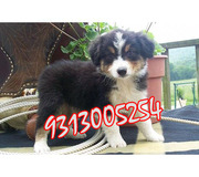 AUSTRALIAN SHEPHERD ,  AUSTRALIAN SHEEP DOG  Puppies for Sale.