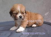 LHASA APSO PUPPS FOR SALE ASIA PETS  @  9911293906 !!