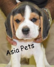 BEAGLE   PUPPS FOR SALE ASIA PETS  @  9911293906 !!