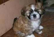LHASA APSO PUPPIES @ CAPITALKENNEL