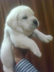 LABRADOR RETRIEVER PUPPIES @ CAPITALKENNEL