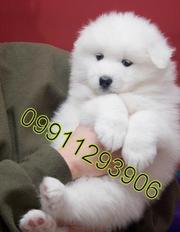 Samoyed  Puppies  For Sale  ® 9911293906
