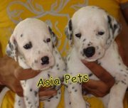 Dalmatian Puppies  For Sale  ® 9911293906